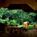 Тигър между град и джунгла